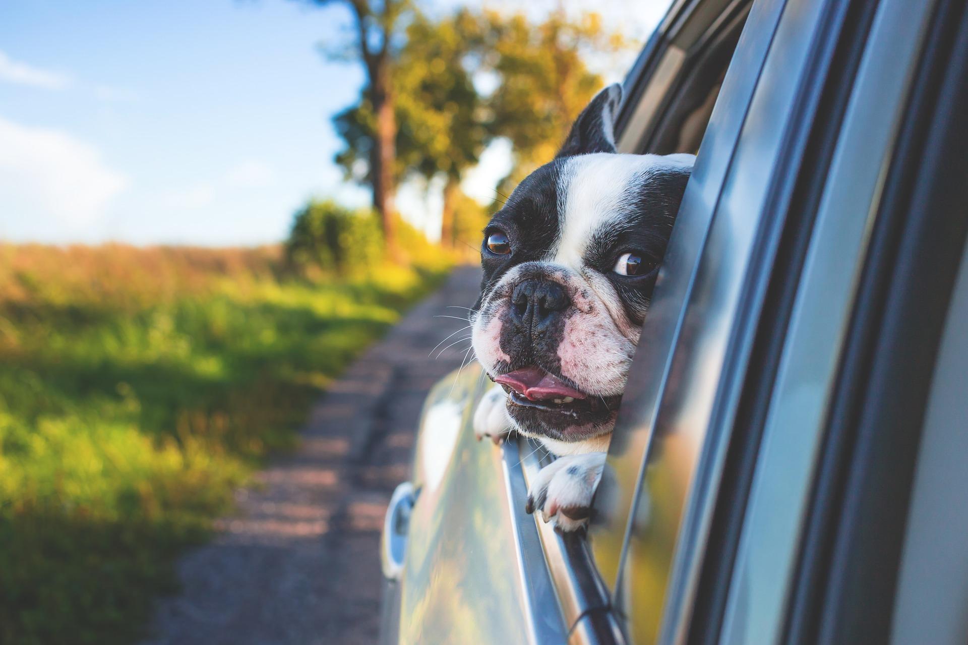 Buldożek wystawiający głowę przez okno samochodu //fot. Pexels z Pixabay.com