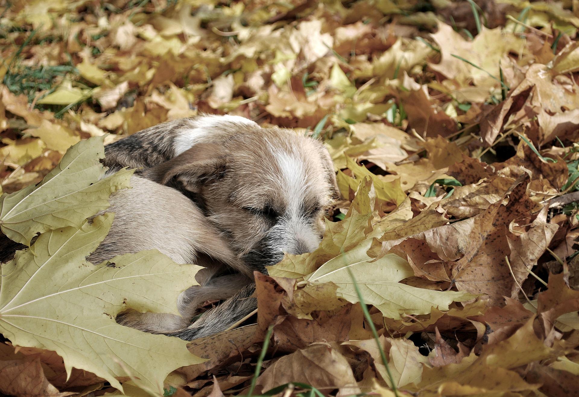 Pies w liściach / pixabay.com/