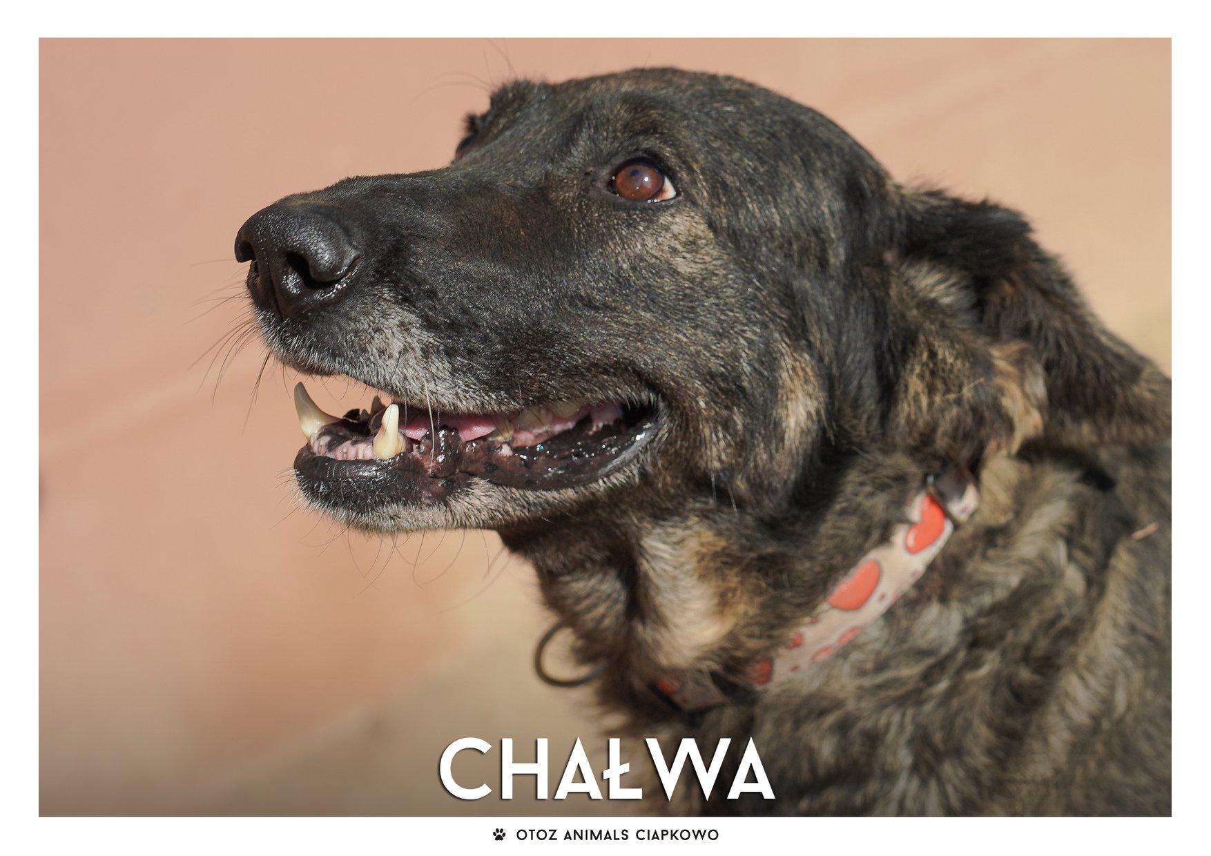 Chałwa szuka domu, fot. OTOZ Animals Ciapkowo