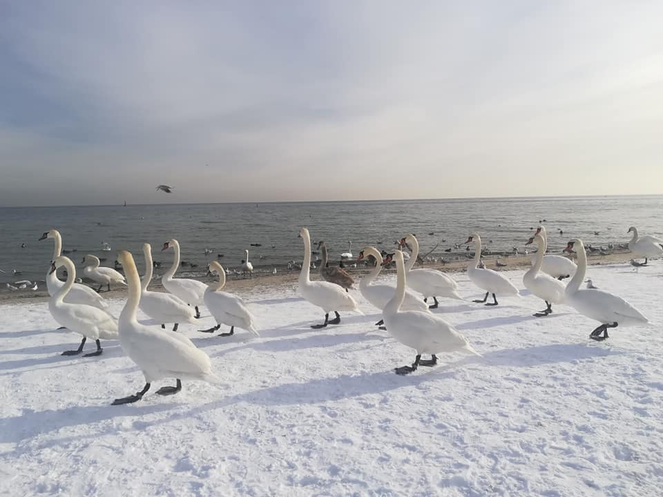 Stado łabędzi zimą na gdyńskiej plaży. Zdj. z grupy na Facebooku: Gdyni w obiektywie, autor: Anja Anja