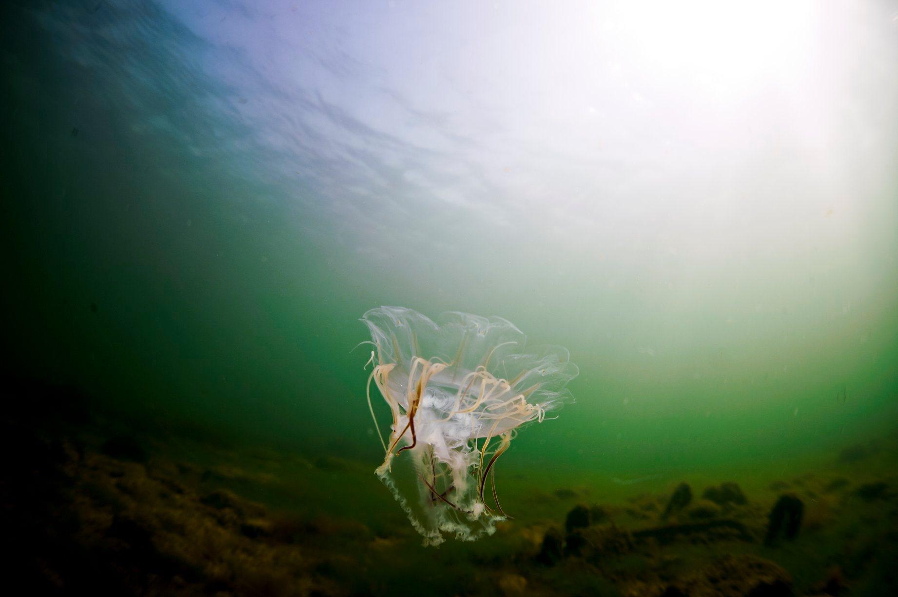 Bełtwa włosiennik to największa meduza na świecie. Źródło: FB Akwarium Gdyńskie