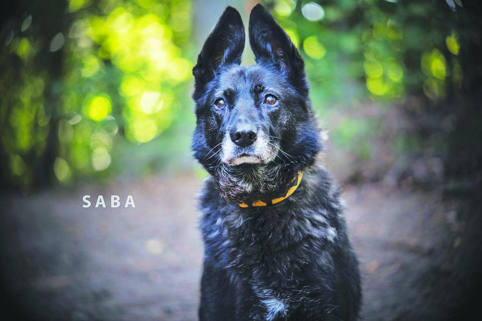 Saba - suczka do adopcji