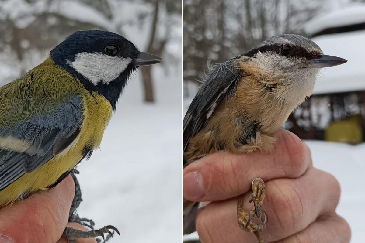 Po lewej: sikorka bogarka, po prawej: kowalik. // fot. Joanna Bloch-Orłowska