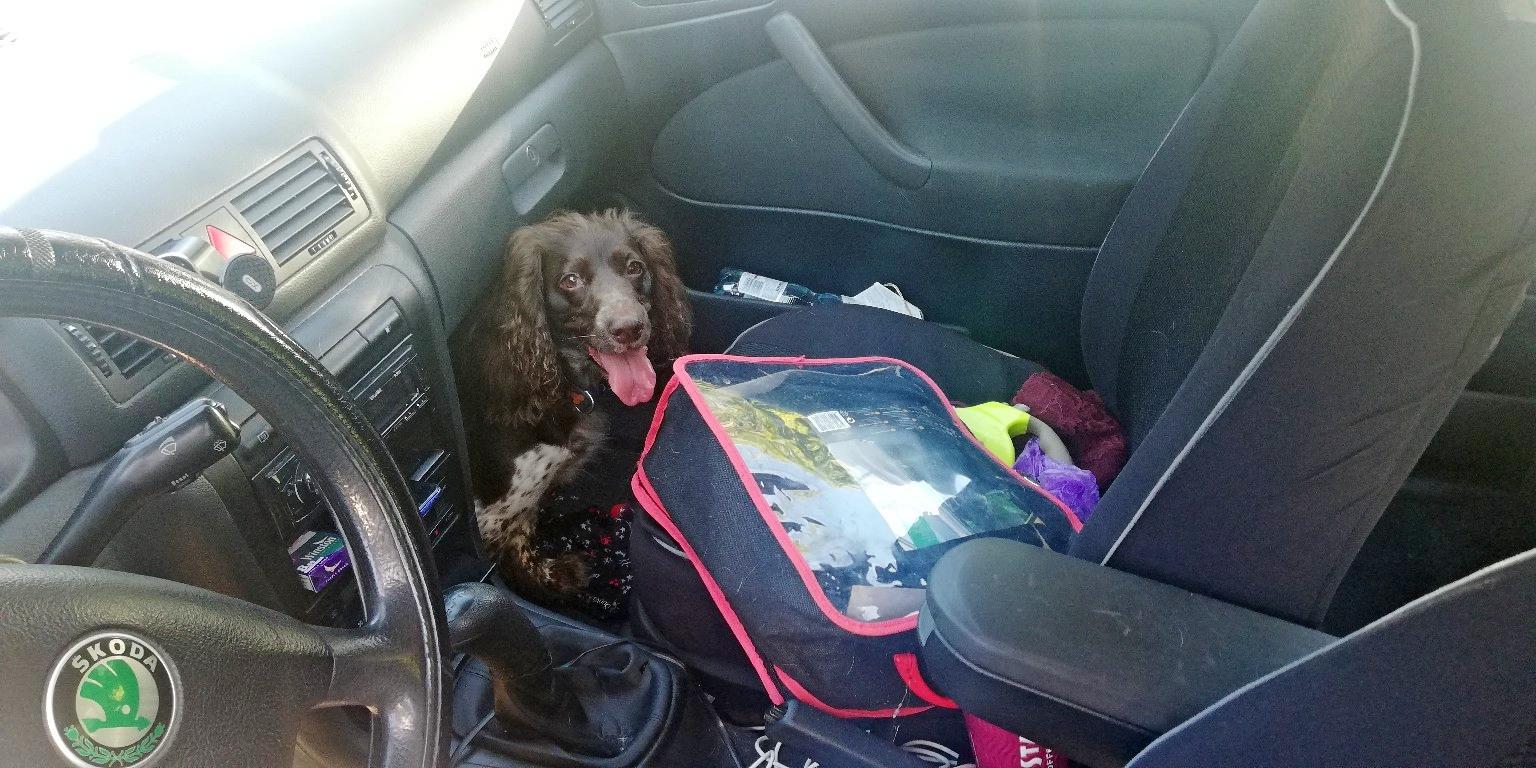 Dzięki interwencji Straży Miejskiej udało się wydostać i uratować psa, który ponad półtorej godziny spędził w zamkniętym, nagrzanym samochodzie // fot. materiały Straży Miejskiej w Gdyni