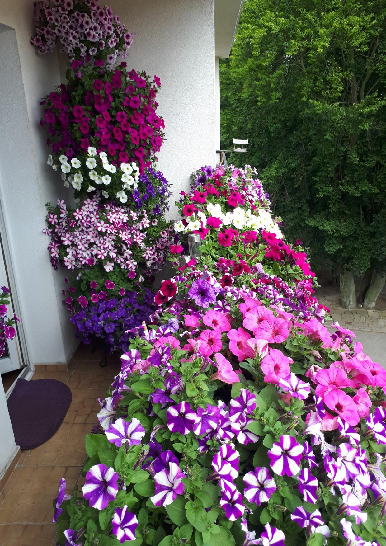 Aranżacja autorstwa Janiny Gilarskiej stworzona z różnobarwnych pelargonii