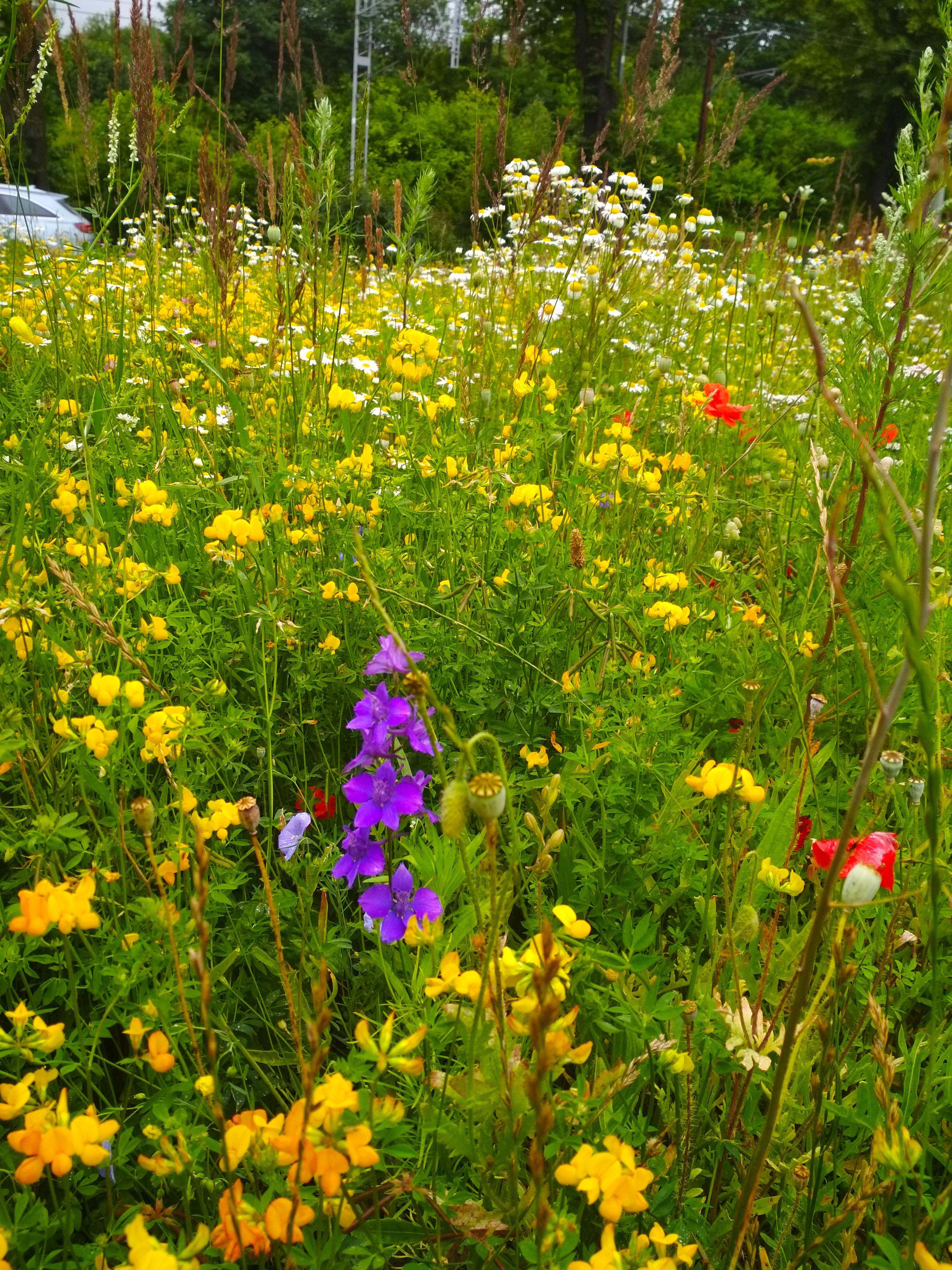 Łąka kwietna przy wjeźdze do Gdyni od strony Sopotu // fot. materiały Biura Ogrodnika Miasta