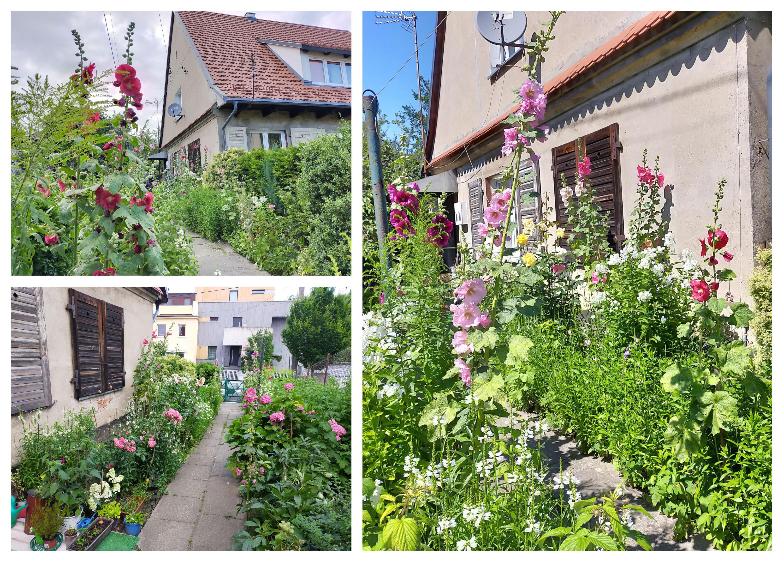 Ogród Heleny Marcinkowskiej, w którym przeważają malwy i hortensje