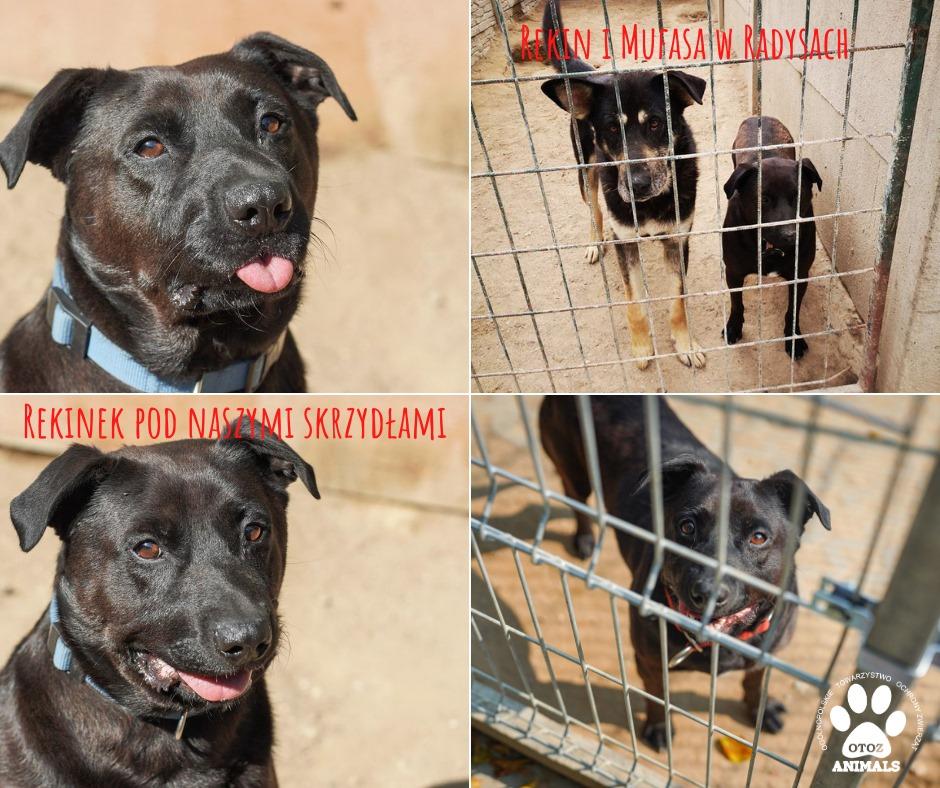 Kolaż zdjęć: zaniedbany pies Rekin w schronisku Radysy i zaopiekowany pies Rekin w Ciapkowie