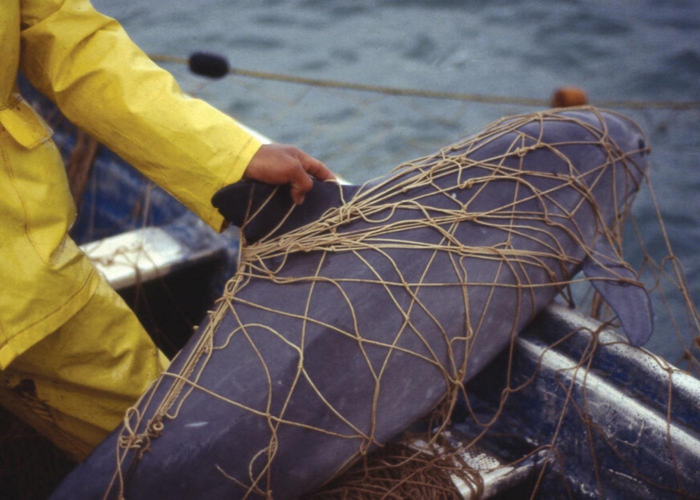 Morświn zaplątany w sieci. Fot. www.wwf.pl