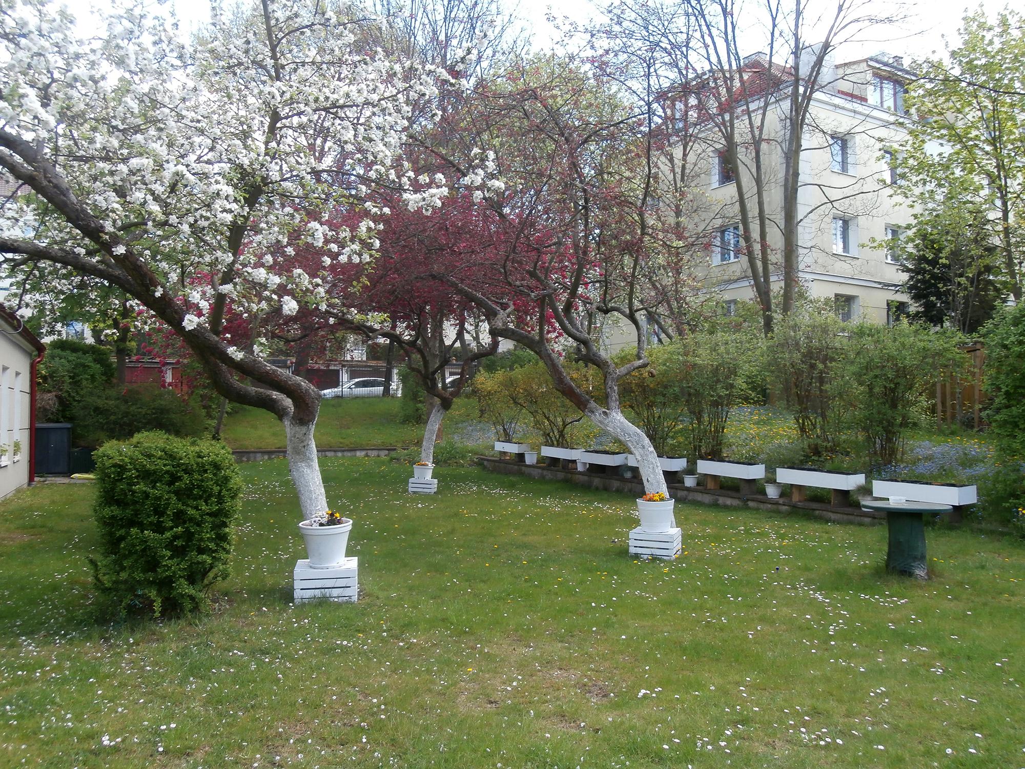 Ogród przy Dziennym Domu Pomocy Społecznej, w którym przeważają drzewa owocowe, niezapominajki i piwonie