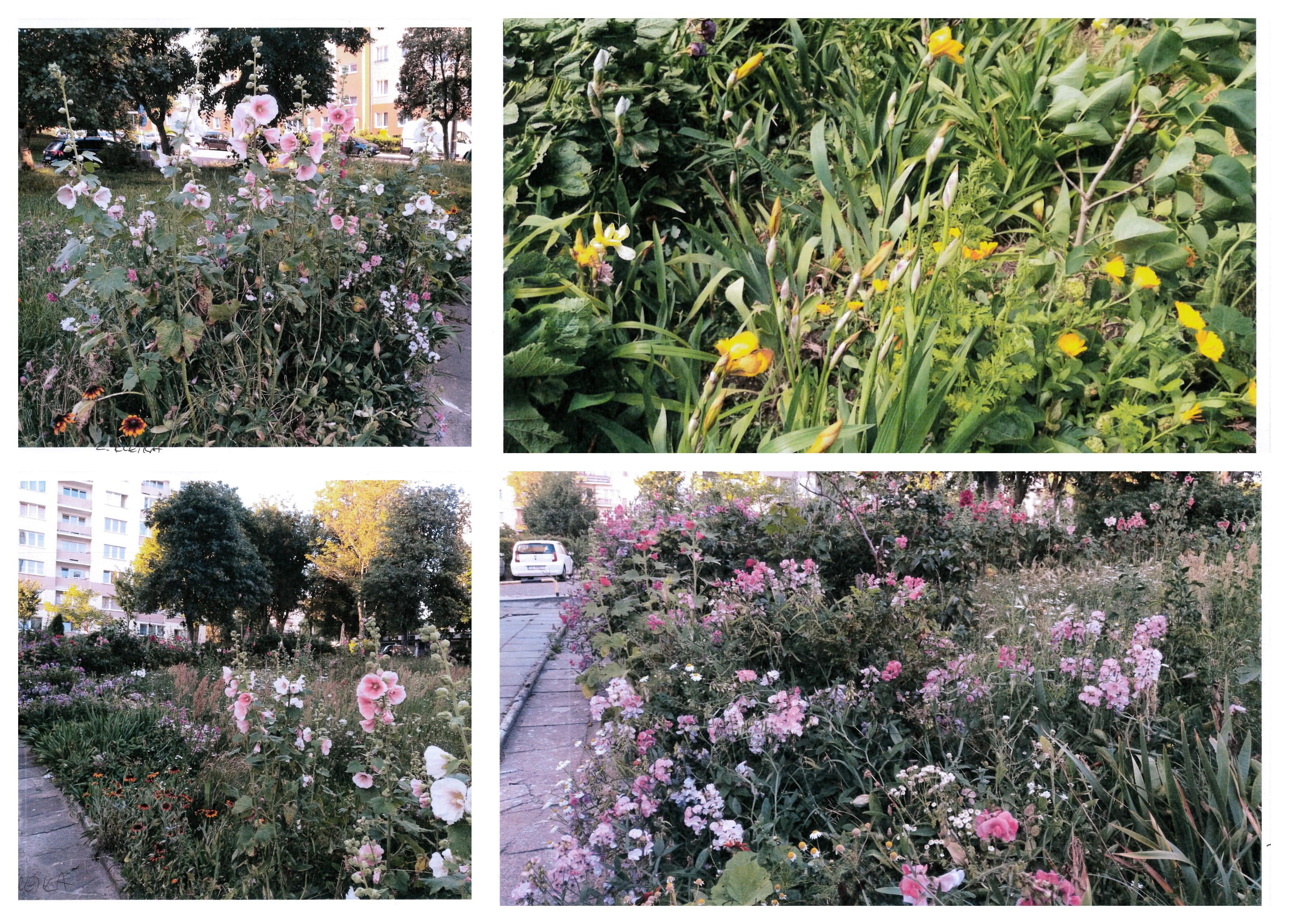 Aranżacja autorstwa Zofii Klęki w sielskim klimacie, w której przeważają malwy, groszek pachnący, róże i nagietki